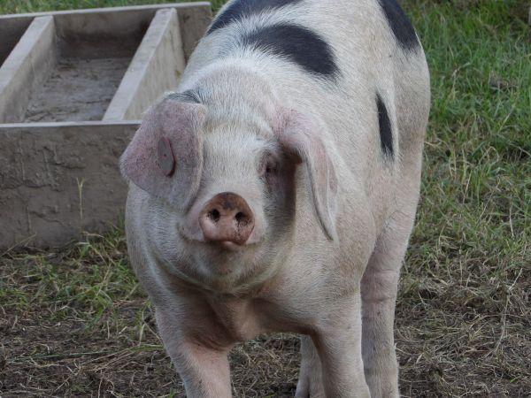 pig-polly-good-4c80871917c5955c7d6580621c006b524c42b534