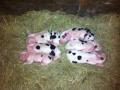 6-piglets-1000aa952d8304d5a174329cc5fd3ac1288c72c2