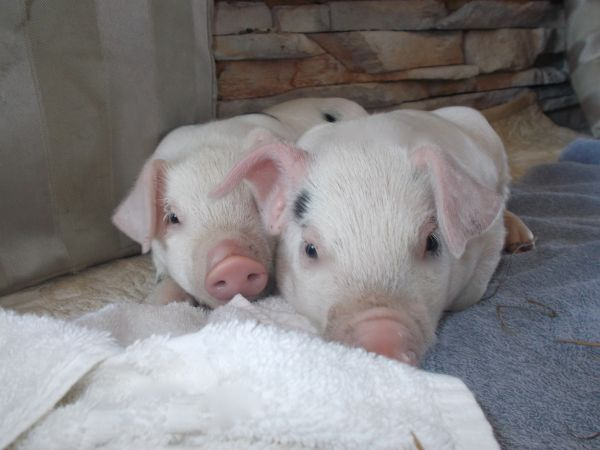 two-piglets-in-blankets