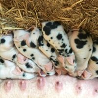 Registered pigs for sale