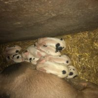 Chilthorne Muriel Piglets Pure UK