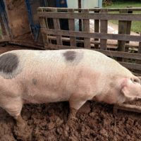 For sale red group piglets