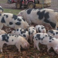 GOS & Spot Crossbred Sows