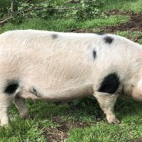 Registered GOS Gilts