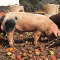 Registered GOS Boar For Sale - Award-Winning Bloodlines