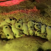 GOS Piglets for sale in California