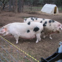 Breeding pair of GOS pigs for sale