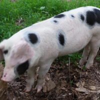 Blue group piglets for sale