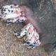 Weaner Pigs - Breeders - Butcher Pigs