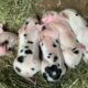Registered Breeding Quality Piglets and Feeders in NH